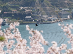 風景(桜と海)4