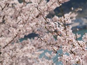 風景(桜)